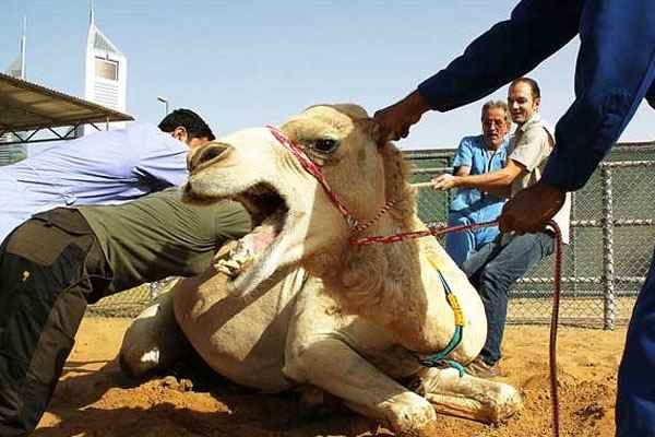 feature - Study choices to become a vet in Malaysia veterinarian eaten by a camel